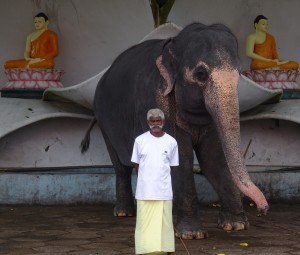 På Sri Lanka kan man se lyserøde elefanter i edru tilstand.